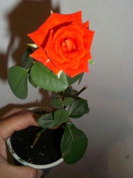 Как укоренить розу из букета?. Как укоренить розу из букета? 7