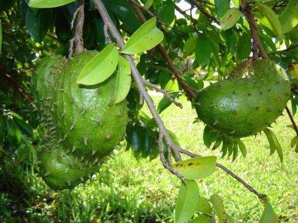 Почему мы ничего не знаем о фрукте, который лечит рак?
