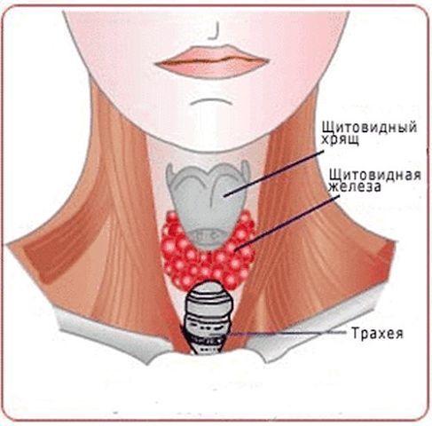 Щитовидная где находится