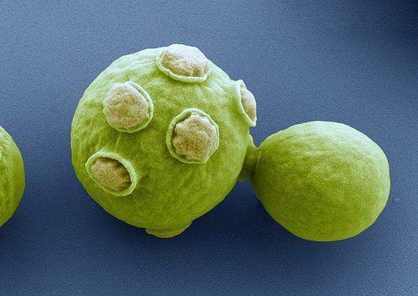 Дрожжи - опасное бактериологическое оружие
