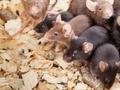 Выведены самцы мышей, лишенные Y-хромосомы