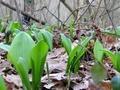 Почему  дикие  растения полезнее культурных