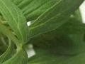 Запах валерианы омолаживает организм
