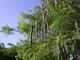 Моринга -  Дерево жизни  или  Чудо-дерево